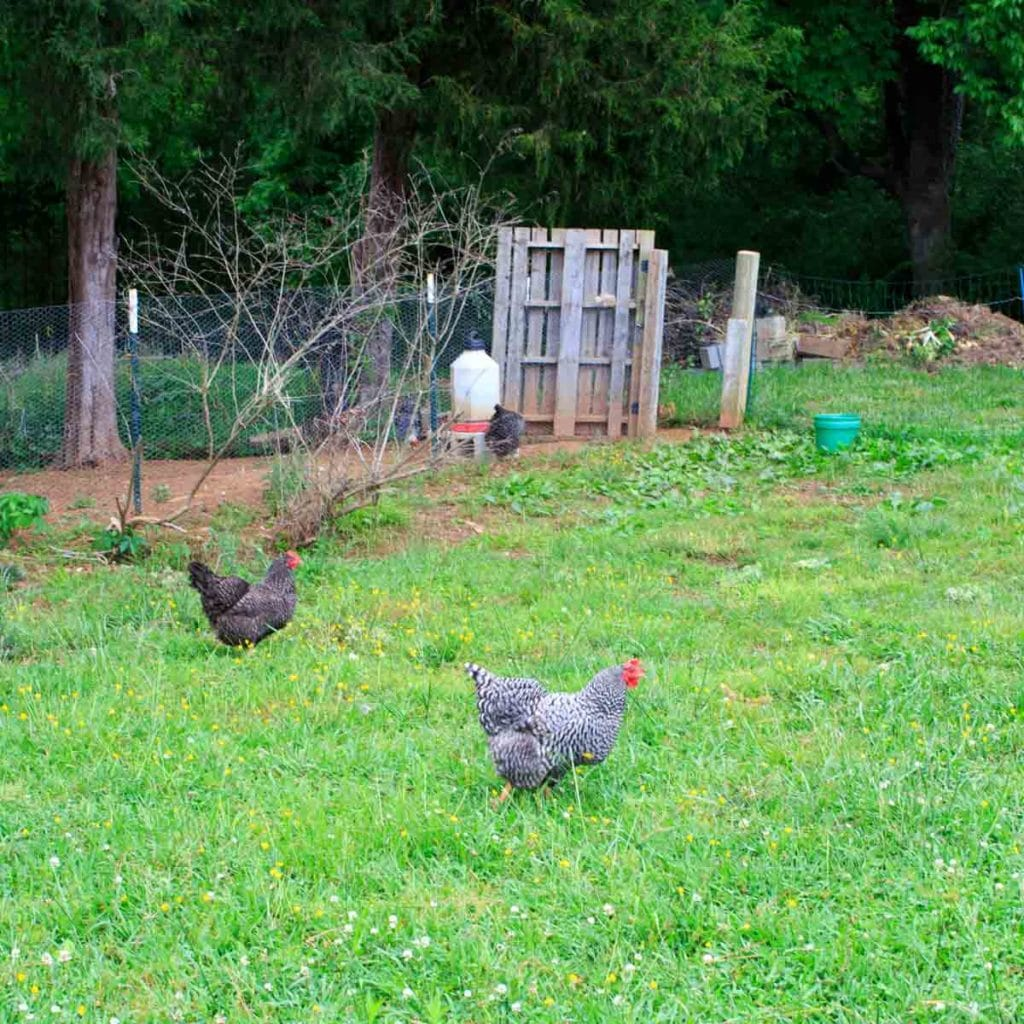 Peaceful River Farm Chickens